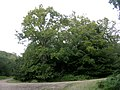 Mature oak at a corner in the New Copse Inclosure, New Forest - geograph.org.uk - 43043.jpg