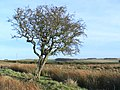 Mature thorn near Hagdon - geograph.org.uk - 1124232.jpg
