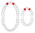 Maxillary lateral incisors01-01-06.png