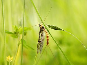 Life in the Undergrowth - Filming of mayflies was made possible by their appearance on the last day.