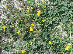 Medicago littoralis