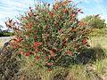 Melaleuca phoenicea (near Geraldton).jpg
