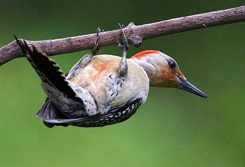 500px melanerpes carolinus  john heinz national wildlife refuge at tinicum, pennsylvania, usa 8