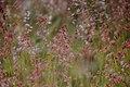Melinis repens subsp. grandiflora -5467 - Flickr - Ragnhild & Neil Crawford.jpg