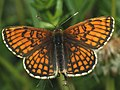 Melitaea athalia - Heath fritillary - Шашечница аталия (41108841512).jpg