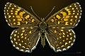 Melitaea diamina MHNT CUT 2013 3 27 Pont Gerendoine female dorsal.jpg