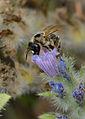Melitturga pictipes female 1.jpg