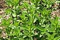 Mentha spicata 7zz.jpg