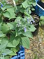 Mertensia sibirica - Flickr - peganum (2).jpg