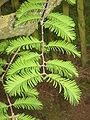 Metasequoia young leaves.jpg
