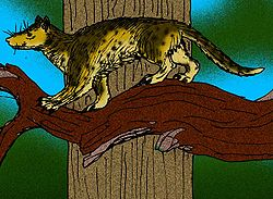 Dessin de reconstitution d'un Miacis