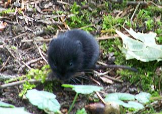 European pine vole species of mammal