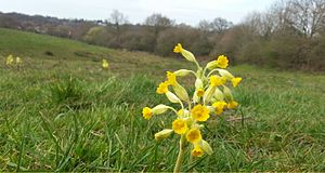 Billericay - Picture of Cowslip Wild Flower - Butchers Field - Mill Meadows, Billericay, Essex - 11th April 2016