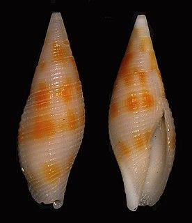 <i>Gemmulimitra rubiginosa</i> species of mollusc