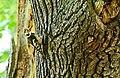 Mittelspecht (Dendrocopos medius) 2H1A1014OB.jpg