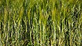 Mixed intercropping of oat and rye 1.jpg