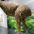 Model of Giant Moa's Body.jpg