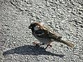 Moineau domestique mâle (Passer domesticus) (12).jpg