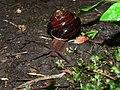 Monadenia fidelis 11656.JPG