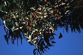 Monarch butterflies cluster in SC 3.jpg