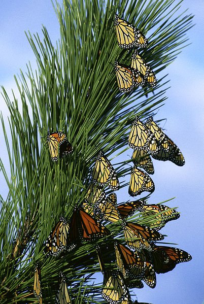 File:Monarch butterfly migration.jpg