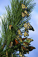 Monarch butterfly migration.jpg