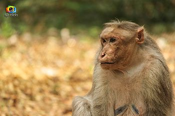 Monkey India.jpg
