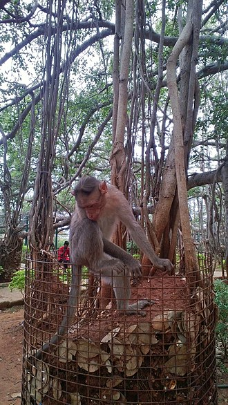 Dodda Alada Mara - Image: Monkeys around Big Banyan Tree sorroundings