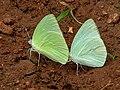 Mottled Emigrant (Catopsilia pyranthe) mud-puddling W IMG 9346.jpg