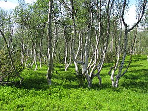 Betula pubescens - Arctic downy birch forms the treeline in most of Scandinavia