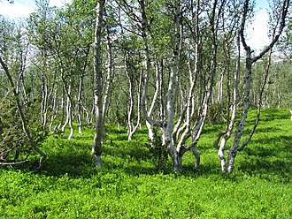 Montane ecosystems - A stand of mountain birch at around 750 m in Trollheimen, typical of Scandinavian subalpine forests