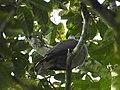 Mountain Imperial Pigeon DSCN0139 03.jpg