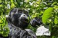 Mountain gorilla (Gorilla beringei beringei) 15.jpg