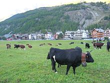 a mixed herd of red-pied and black cattle; the nearest one has white markings