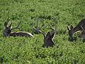 Mule Deer, Washoe Valley, Nevada (21155861109).jpg