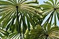 Musanga cecropioides00.jpg