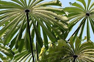 Musanga cecropioides - Image: Musanga cecropioides 00