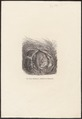 Muscardinus avellanarius - 1700-1880 - Print - Iconographia Zoologica - Special Collections University of Amsterdam - UBA01 IZ20400173.tif
