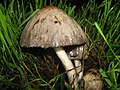 Mushroom collection 6 (2925879050).jpg