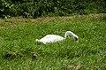Mute swan foraging grass (1).jpg