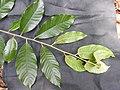 Myristica malabarica-2-mundanthurai-tirunelveli-India.jpg