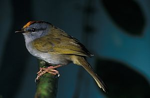 Russet-crowned warbler - Image: NBII Image Gallery Basileuterus coronatus a 00207