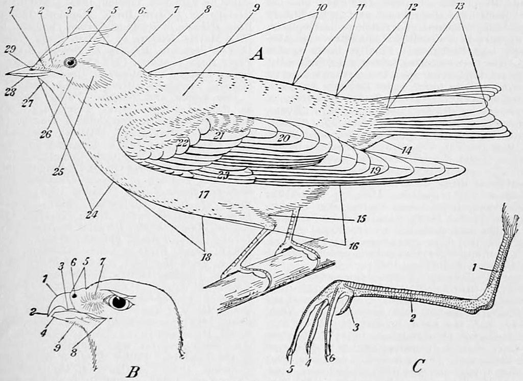 File:NIE 1905 Bird - topography.jpg - Wikimedia Commons