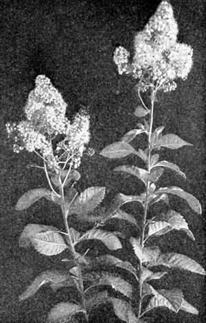 NIE 1905 Spiræa - Willow-Leaved Spiræa.jpg