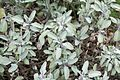 Nagold - Schlossberg - Hohennagold - Burggarten - Salvia officinalis 02 ies.jpg