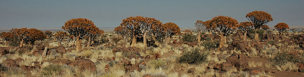 Namibie Quivertree Forest 01.JPG