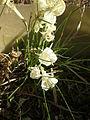 Narcissus romieuxii 1c.JPG