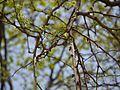 Naringi crenulata (5656329577).jpg