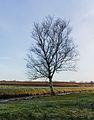 Nationaal Park Weerribben-Wieden. Solitaire berk (Betula).jpg