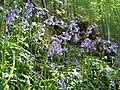 Native British bluebells - geograph.org.uk - 798457.jpg